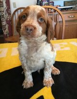 Glorious Brittany pups..FOR MORE INFO TEXT OR CALL (801) 829-1836 in Oak Harbor, WA