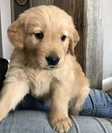 Glorious Golden Retriever pups..FOR MORE INFO TEXT OR CALL (801) 829-1836 in Oak Harbor, WA