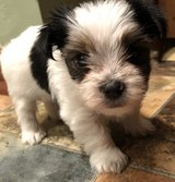 Sweet Yorkshire Terrier pups..FOR MORE INFO TEXT OR CALL (801) 829-1836 in Chicago, Illinois