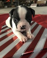 Sweet Boston Terrier pups..FOR MORE INFO TEXT OR CALL (801) 829-1836 in Chicago, Illinois