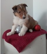 Sweet Collie pups..FOR MORE INFO TEXT OR CALL (801) 829-1836 in Chicago, Illinois