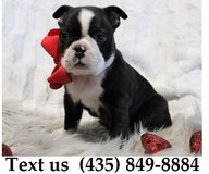 Cardi Boston Terrier Puppies For Adoption, For Info Text at (435) 849-8884 in Schofield Barracks, Hawaii