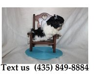 Cardi Havanese Puppies For Adoption, For Info Text at (435) 849-8884 in Schofield Barracks, Hawaii