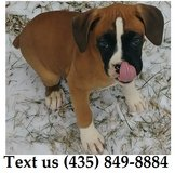 Cardi Boxer Puppies For Adoption, For Info Text at (435) 849-8884 in Schofield Barracks, Hawaii