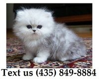 Cardi Persian Kittens For Adoption, For Info Text at (435) 849-8884 in Schofield Barracks, Hawaii