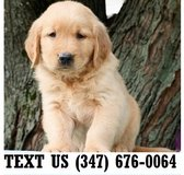 Fanta Golden Retriever  Puppies.for adoption  Text us.(347) 676-OO64 in Fort Riley, Kansas