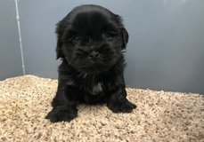 Incredible Lhasa Apso pups..FOR MORE INFO TEXT OR CALL (801) 829-1836 in Lawton, Oklahoma