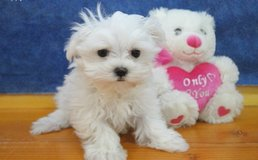 Incredible Maltese pups..FOR MORE INFO TEXT OR CALL (801) 829-1836 in Lawton, Oklahoma