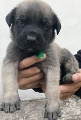 Incredible Mastiff pups..FOR MORE INFO TEXT OR CALL (801) 829-1836 in Lawton, Oklahoma