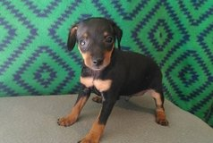 Incredible Miniature pinscher pups..FOR MORE INFO TEXT OR CALL (801) 829-1836 in Lawton, Oklahoma