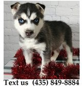 Boomer Siberian Husky Puppies For Adoption, For Info Text at (435) 849-8884 in Belleville, Illinois