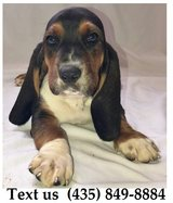 Boomer Basset Hound Puppies For Adoption.. For Info Text at (435) 849-8884 in Belleville, Illinois