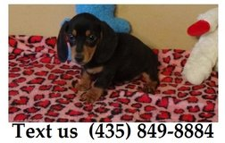 Boomer Dachshund Puppies For Adoption, For Info Text at (435) 849-8884 in Belleville, Illinois
