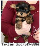 Boomer Yorkshire Terrier Puppies For Adoption, For Info Text at (435) 849-8884 in Belleville, Illinois