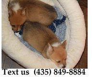 Boomer Pembroke Welsh Corgi Puppies For Adoption, For Info Text at (435) 849-8884 in Belleville, Illinois