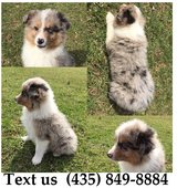Boomer Australian Shepherd Puppies For Adoption, For Info Text at (435) 849-8884 in Belleville, Illinois