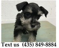 Titan Miniature Schnauzer Puppies For Adoption, For Info Text at (435) 849-8884 in Quad Cities, Iowa
