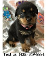 Titan Rottweiler Puppies For Adoption, For Info Text at (435) 849-8884 in Quad Cities, Iowa