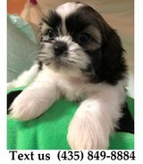 Titan Shih Tzu Puppies For Adoption, For Info Text at (435) 849-8884 in Quad Cities, Iowa