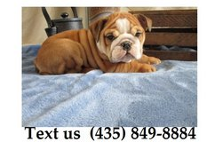 Titan Bulldogs Puppies For Adoption, For Info Text at (435) 849-8884 in Quad Cities, Iowa