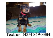 Titan Doberman Pinscher Puppies For Adoption, For Info Text at (435) 849-8884 in Quad Cities, Iowa