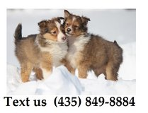 Titan Shetland Sheepdog Puppies For Adoption, For Info Text at (435) 849-8884 in Quad Cities, Iowa