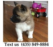 Titan Akita Puppies For Adoption, For Info Text at (435) 849-8884 in Quad Cities, Iowa