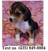 Titan Beagle Puppies For Adoption, For Info Text at (435) 849-8884 in Quad Cities, Iowa