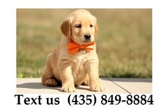 Titan Golden Retriever Puppies For Adoption, For Info Text at (435) 849-8884 in Quad Cities, Iowa