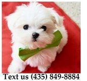 Ziggy Maltese Puppies For Adoption, For Info Text at (435) 849-8884 in Fort Riley, Kansas