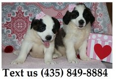 Ziggy Saint Bernard Puppies For Adoption, For Info Text at (435) 849-8884 in Fort Riley, Kansas