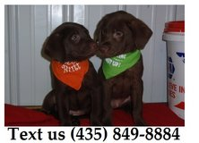 Ziggy Labrador Retriever Puppies For Adoption, For Info Text at (435) 849-8884 in Fort Riley, Kansas