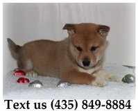 Ziggy Shiba Inu Puppies For Adoption, For Info Text at (435) 849-8884 in Fort Riley, Kansas