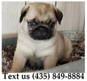 Ziggy Pug Puppies For Adoption, For Info Text at (435) 849-8884 in Fort Riley, Kansas
