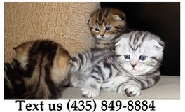 Ziggy Scottish Fold Kittens For Adoption, For Info Text at (435) 849-8884 in Fort Riley, Kansas