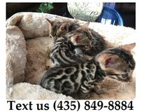 Ziggy Bengal Kittens For Adoption, For Info Text at (435) 849-8884 in Fort Riley, Kansas