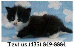 Ziggy Munchkin Kittens For Adoption, For Info Text at (435) 849-8884 in Fort Riley, Kansas