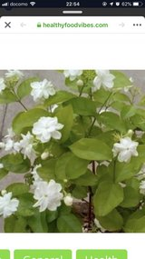 looking for this plant in Okinawa, Japan