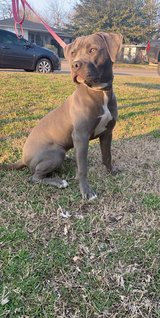 Blue pit bull puppy in Lawton, Oklahoma