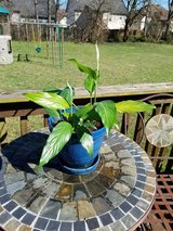 Peace Lily Plant in Blue Ceramic Pot in Clarksville, Tennessee