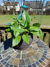 Pothos Plant in Etched Grey Ceramic Pot in Clarksville, Tennessee