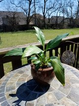 Peace Lily Plant in Brown Ceramic Pot in Clarksville, Tennessee