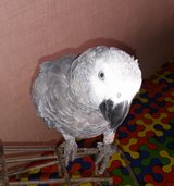 African Grey in 29 Palms, California