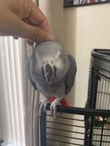African Grey Partially Tame in 29 Palms, California