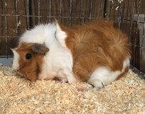 """8 Month Old Female Abyssinian Guinea Pig -- """"Butter"""" in Chicago, Illinois"""