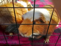 Guinea Pigs in Alamogordo, New Mexico