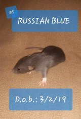 Male Pet Rats-- [Russian Blues] in Fort Campbell, Kentucky