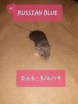 Female Pet Rats-- [Russian Blues] in Fort Campbell, Kentucky