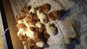 Baby chickens in Beaufort, South Carolina