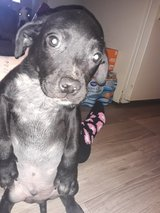 pit/lab 10 weeks old in Hopkinsville, Kentucky